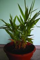 plant-ginger